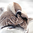 Stock Photo: Klamath Goose