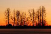 Sunset, elms and field fog — Stock Photo