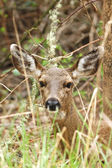 Black Tail Doe — Stockfoto