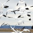 Snow Geese in Flight — Stock Photo #18959187