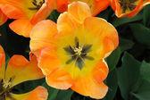 Daydream Tulip — Stock Photo