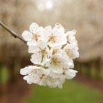 Cherry Blooms — Stock Photo