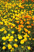 California Poppy — 图库照片