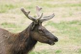 Velvet Elk — Stock Photo