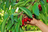 Cherry Orchard — Stock Photo