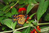 Borboleta-monarca — Foto Stock