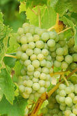 Muller Thurgau — Stock Photo