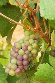 Pinot gris — Stockfoto