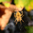 Orb Weaver — Stock Photo