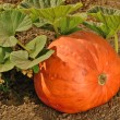 Growing Pumpkin — Stock Photo #27716573
