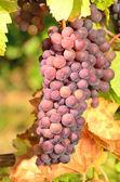Pinot Gris — Stock Photo