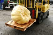 巨型南瓜 — 图库照片