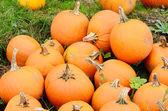 Pumpkin Field — Stock Photo