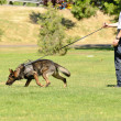 Stock Photo: K9 dog at work