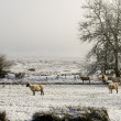 Winter Ewes — Stock Photo
