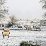 Winter Ewes — Stock Photo #30986367