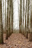 PoplarTrees — Stock Photo
