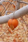 冬りんご — ストック写真