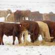 Winter Steers — Stock Photo