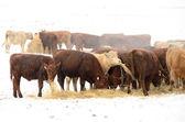 Winter Steers — Foto Stock
