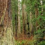 Redwoods — Stock Photo #38223873