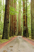 Redwoods — Stock Photo