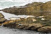 Harbor Seal — Zdjęcie stockowe