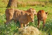 Piemontesischen kreuz — Stockfoto