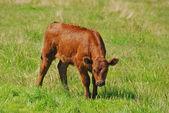 Longhorn Calf — Stock Photo