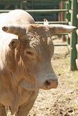 Rodeo Bull — Стоковое фото