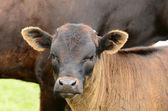 Longhorn Calves — Stock Photo