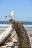 Western Gull — Stock Photo