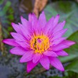 Pink water lily. — Stock Photo