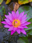 Pink water lily. — Stockfoto