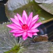 Pink water lily with leaves floating in the pond. — Stock Photo
