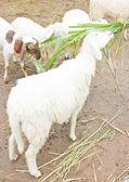 Moutons alimentation. — Photo