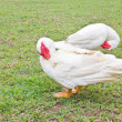 Muscovy white duck clean itself on green grass. — Stock Photo