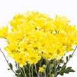 Yellow chrysanthemum flowers isolated on white background. — Stock Photo