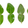 Stock Photo: Kaffir lime leaves.