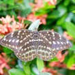 Golden birdwing butterfly — Stock Photo