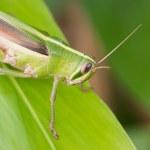 Grasshopper. — Stock Photo