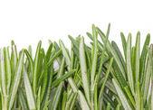 Rosemary herbal frame. — Stockfoto