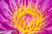 Close up of pink water lily. — Stock Photo