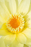 Close up of yellow warter lily. — Stock Photo