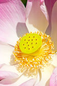 Close up of pink water lily, Nelumbo nucifera. — Stock Photo