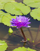 Purple water lily. — Stock Photo