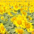 Sunflowers field. — Stock Photo #32175611