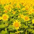 Sunflowers field. — Stock Photo #32176145