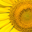 Close up of sunflower. — Stock Photo #32176465