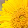 Stock Photo: Close up of sunflower.